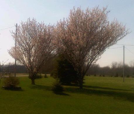 Blooming Japanese Plum Trees